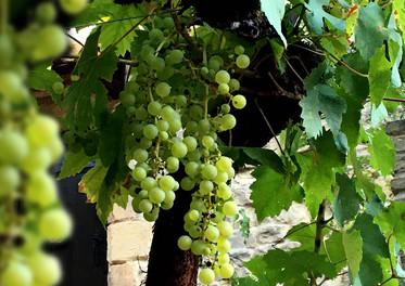 Vine / Vigne