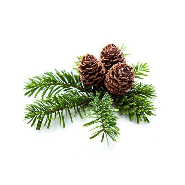 Pine / Pin sylvestre