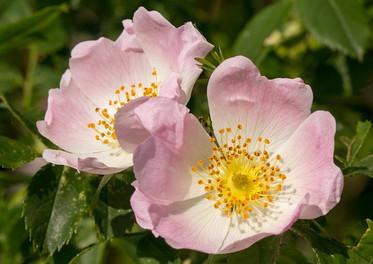 Wild Rose / Eglantier