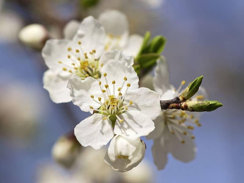 Cherry Plum / Prunier myrobolan