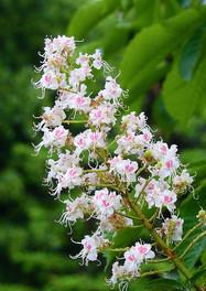 White Chestnut / Marronnier blanc
