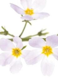 Water Violet / Hottonie des marais