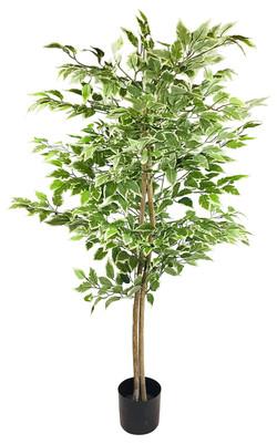 Ficus Mixed 200