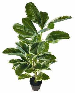 Rubber Ficus 1