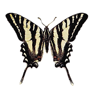 butterfly_forwebsite.png