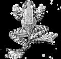 frog for website.png