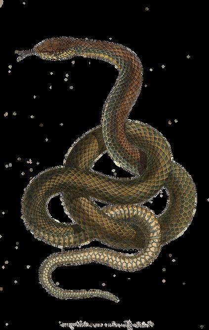 snake_forwebsite_edited.png