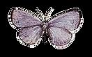 purplebutterfly_websitepng.png