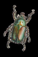 beetle_website.png
