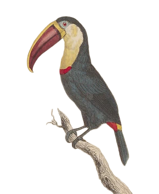 toucan_for_website.png