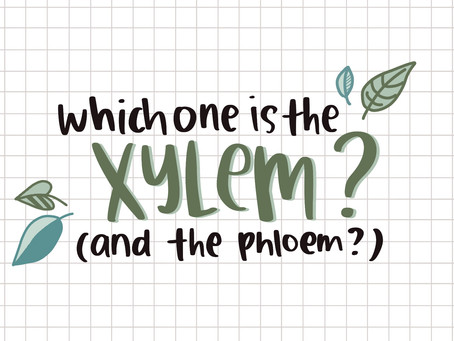 Positions of Xylem and Phloem?