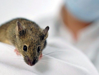 Molécula que impede declínio cognitivo em ratos será usada em humanos em 2016