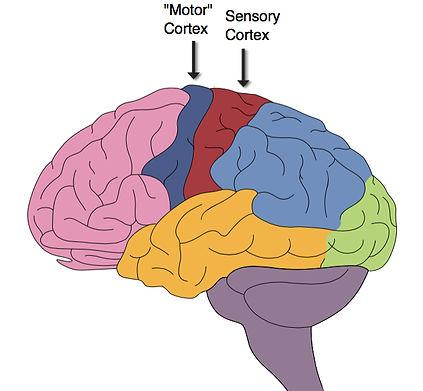 Brain_Sensory_Motor_Cortex.jpg