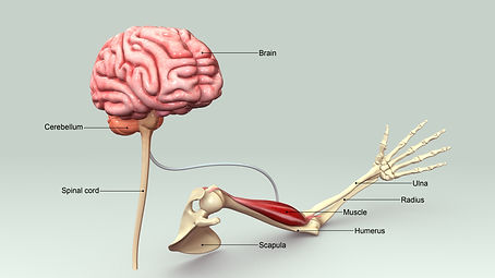 brain to muscle connection_541091224.jpg