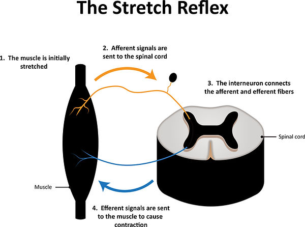 Stretch Reflex_311314838.jpg