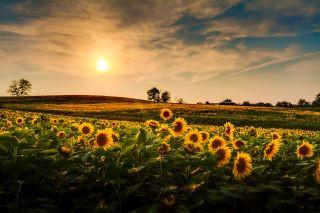 sunflowers in Kansas.jpg