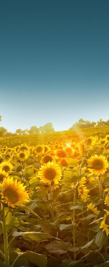 kansas sunflowers.jpg