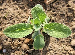 Unser Salbei - EWI - Zitronen Salbei Bio Getränk vom Bodensee
