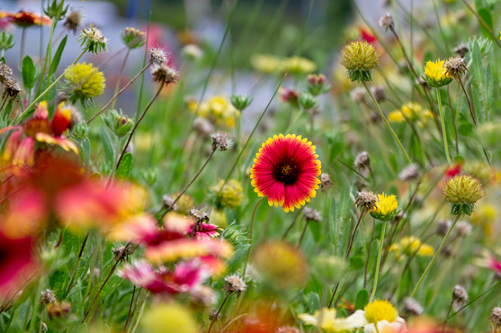 Field of Flowers  4154