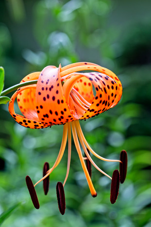 Tiger Lily  2947