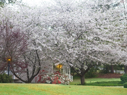 Blooming Dogwoods  1791
