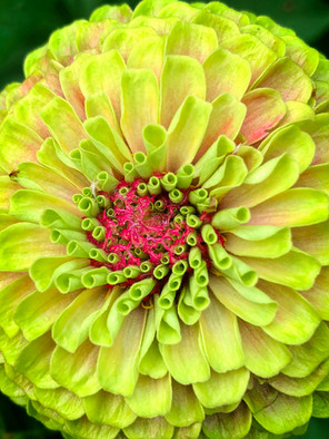 Blooming Dahlia  0471
