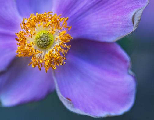 Purple Poppy Anemone 4956