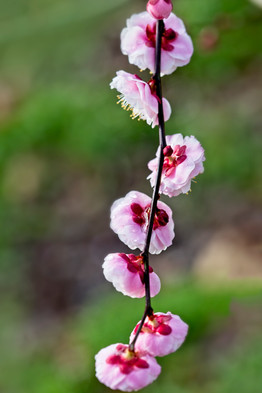Cherry Blossom Sprig  4002