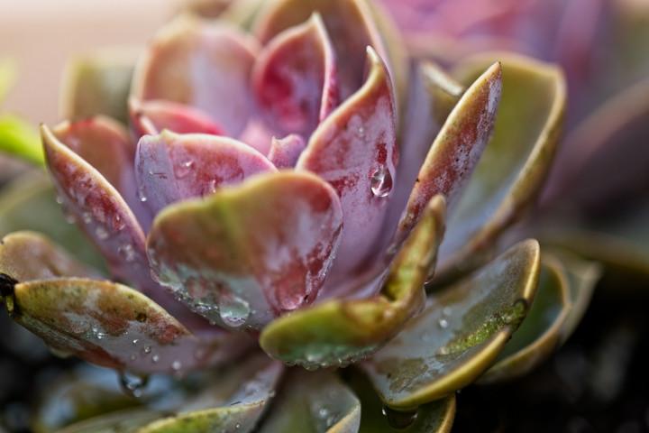 Succulent  4561