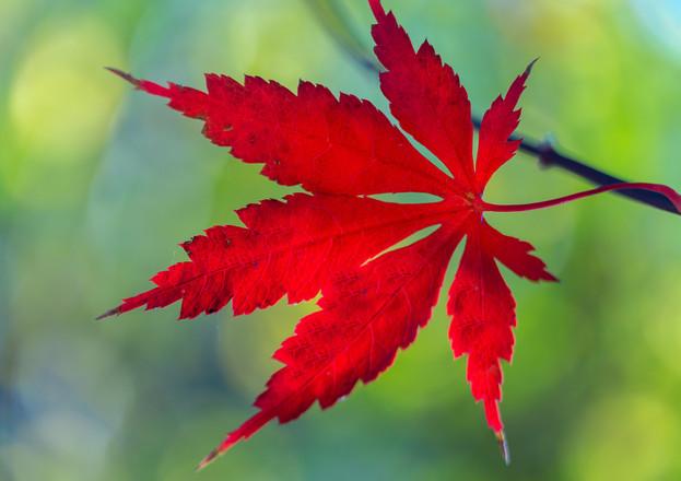 Red Leaf 3072
