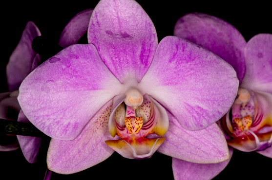 Orchid  6310