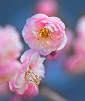 Cherry Blossoms  3978