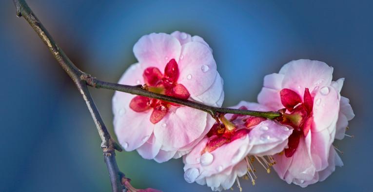 Cherry Blossoms  399