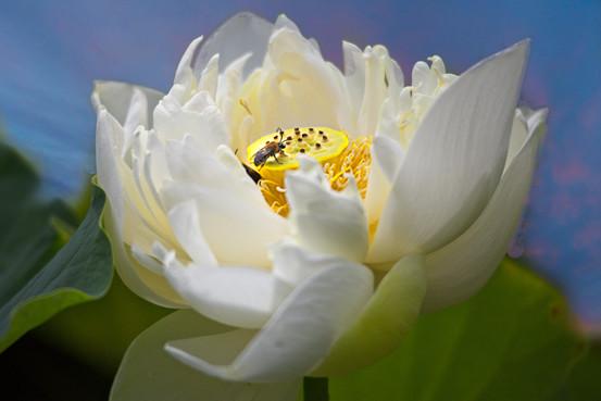 Flowering Lotus   4549