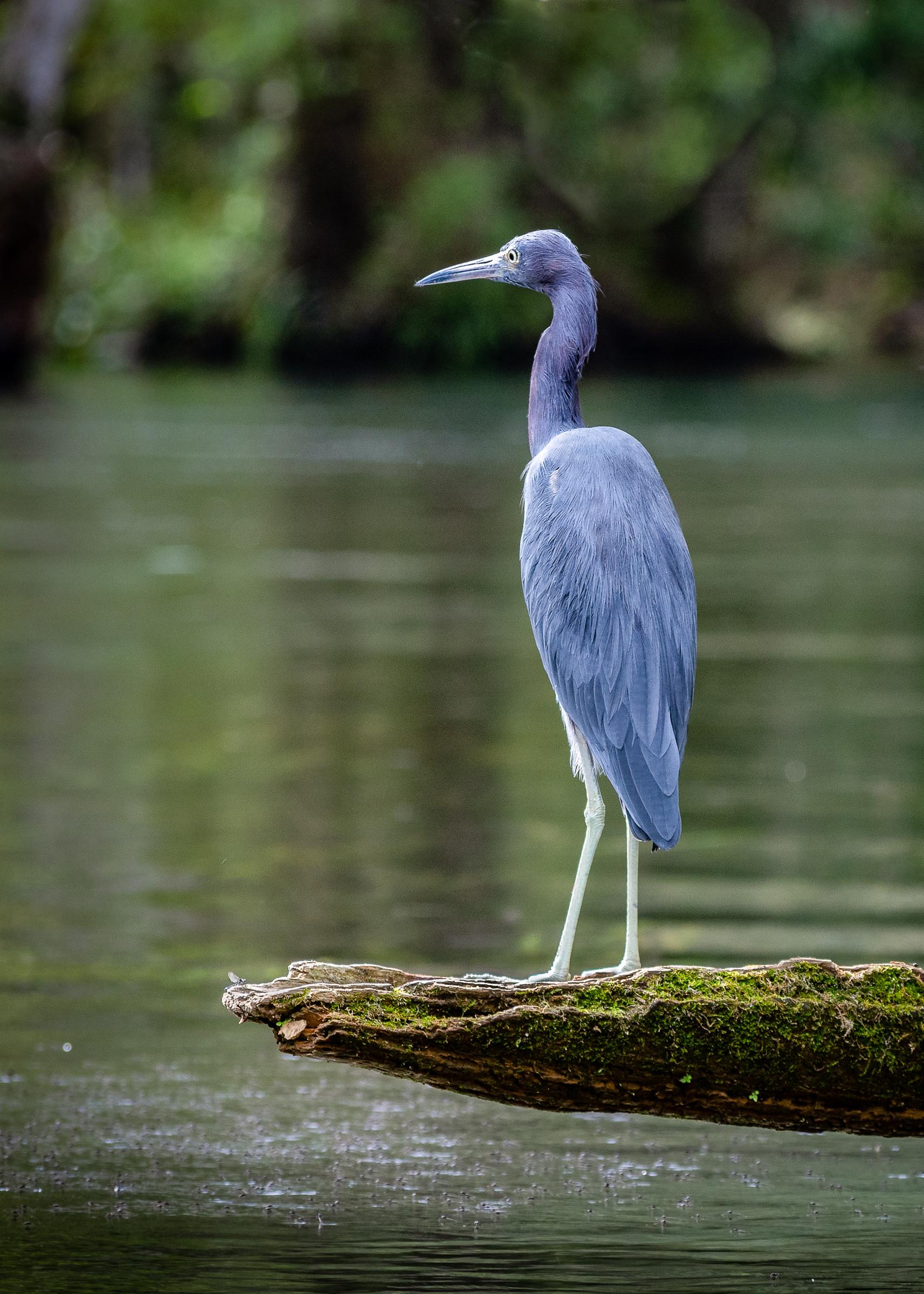 Pastel Blue Heron