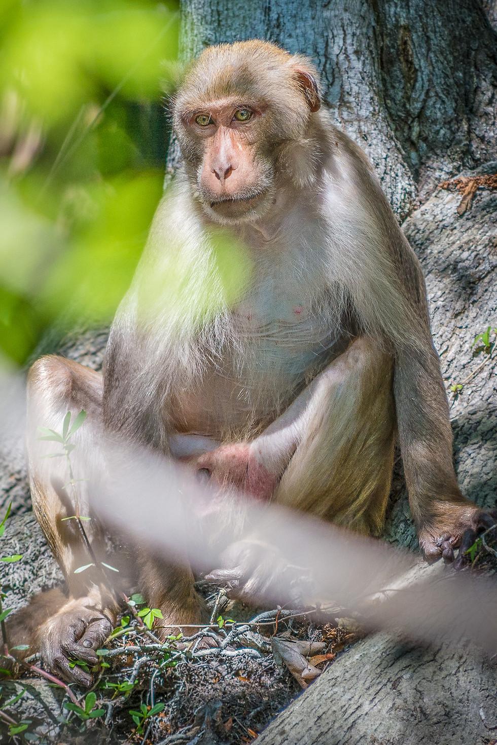 Contemplative monkey