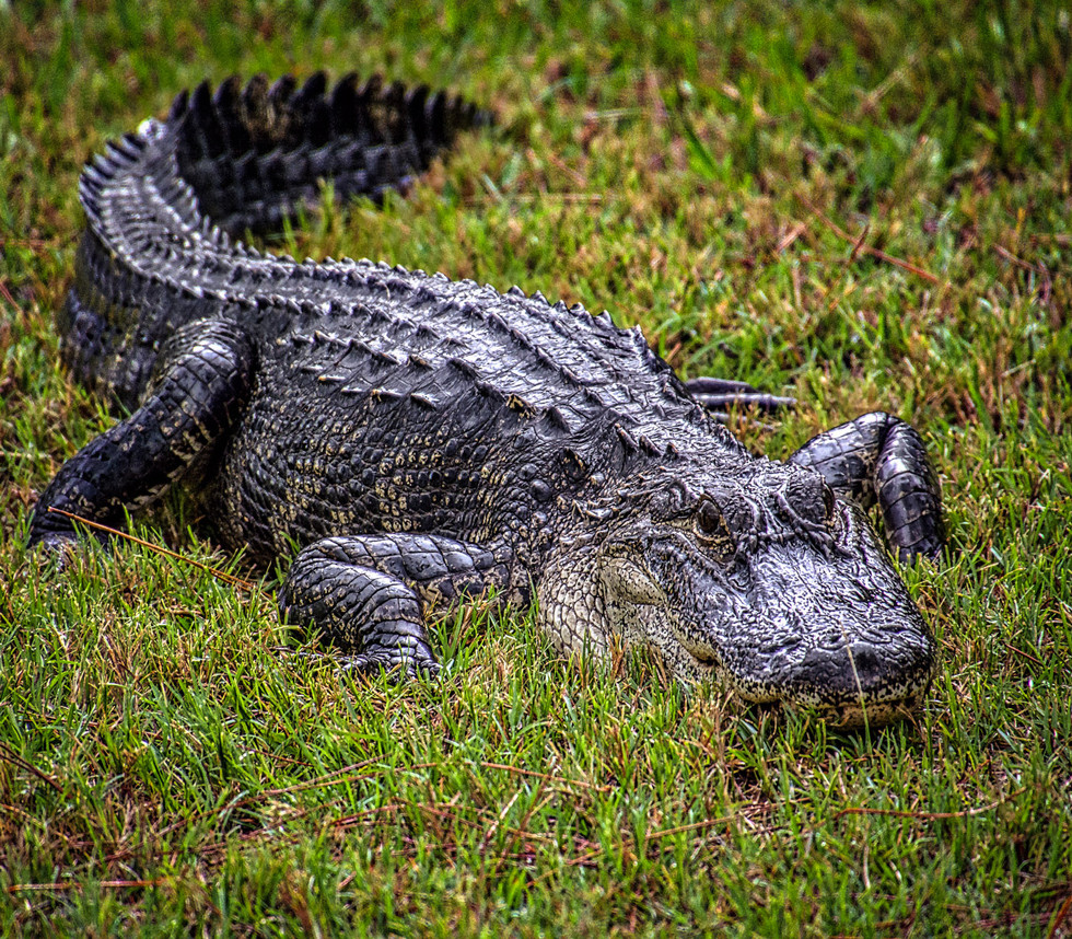 Gator in Our Backyard