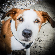 Had the pleasure of meeting Lola this morning.... a very stunning and highly intelligent dog.  Thank you Kim Ferris for your time.jpg