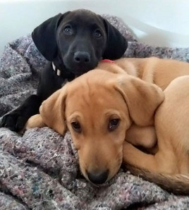 Fostered Puppys for training