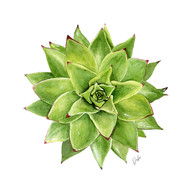Watercolor Succulent Illustration