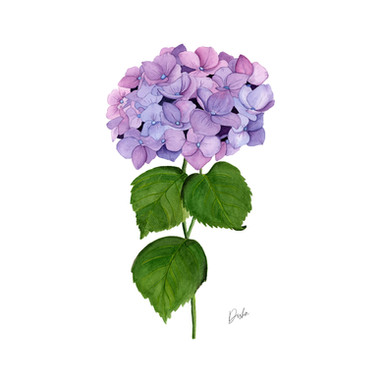 Watercolor Hydrangea Illustration