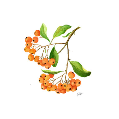 Orange Firethorn Illustration