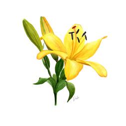 Yellow Lily Illustration
