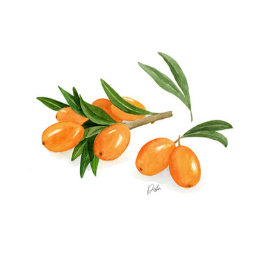 Sea Buckthorn Illustration
