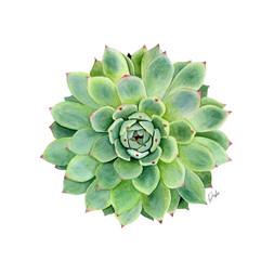 Watercolor Succulent Illustration