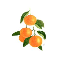 Tangarines Illustration