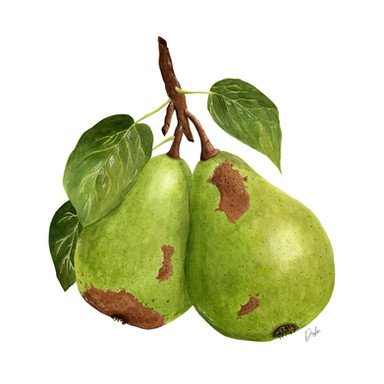 Watercolor Pears illustration