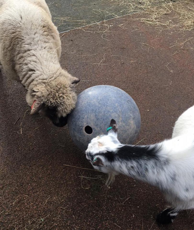 Small Goats.jpg