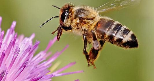 honeybee-milkthistle-180606-li_facebooks