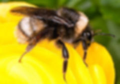 bombus-occidentalis2.jpg